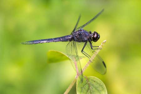 slaty: Slaty Skimmer Dragonfly Perched on a Branch Stock Photo