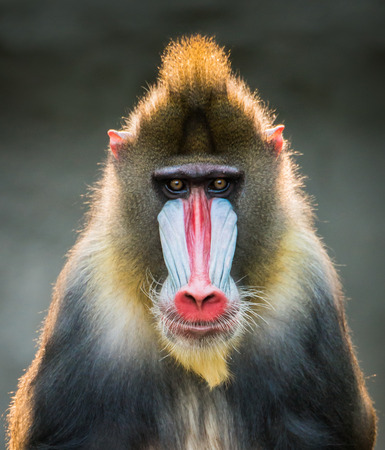 Frontal Portrait of a Backlit Male Mandrill Stock Photo - 31806354