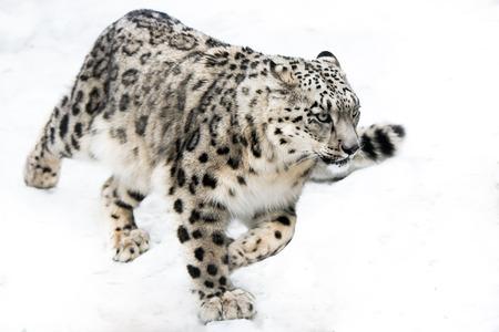 雪の中で実行している雪ヒョウ