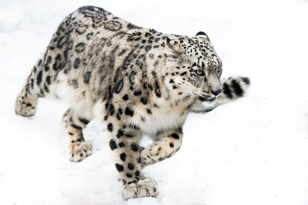 Snow Leopard Running in Snow 版權商用圖片