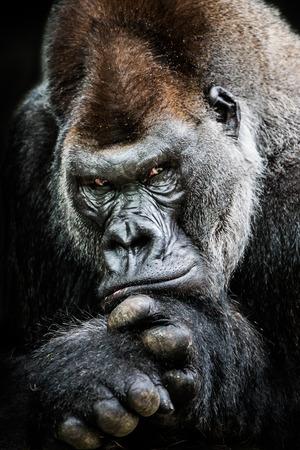 frontal portrait: Frontal Portrait of Western Lowland Gorilla Stock Photo