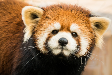 oso panda: Frontal Retrato de un panda rojo Foto de archivo