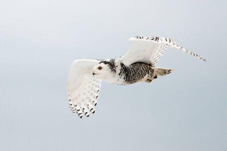 snowy owl: Snowy Owl in Flight