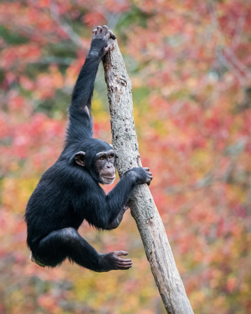 chimpanzee: Young Chimpanzee Climbing in Tree Stock Photo