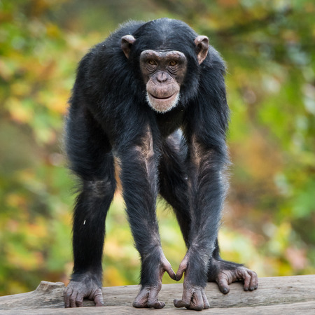 frontal portrait: Frontal Portrait of Young Chimpanzee Stock Photo