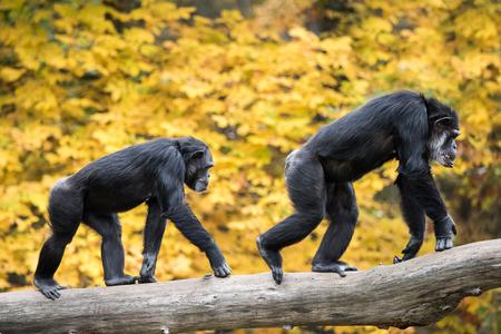 chimpances: Dos chimpanc�s machos recorren en la rama del �rbol contra fondo de hojas amarillas Foto de archivo