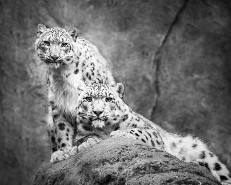 snow leopard: Frontal Portrait of Snow Leopard Pair