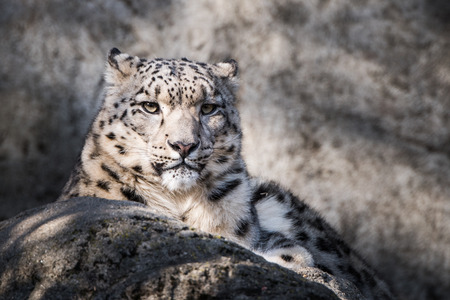 Frontal Portrait of Snow Leopard in Snow Stock fotó