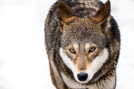 Frontal Portrait of a Red Wolf in Snow