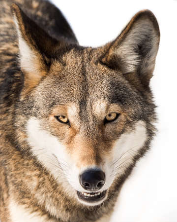 frontal portrait: Frontal Portrait of a Red Wolf in Snow