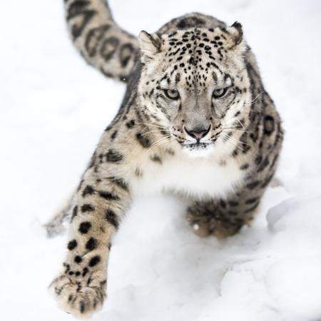 Snow Leopard Running i Snow Stockfoto
