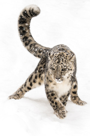 snow leopard: Snow Leopard Prowling in the Snow