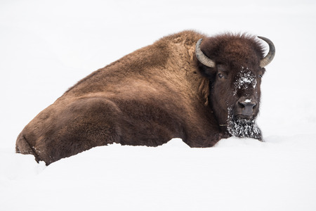 frontal portrait: Frontal Portrait of a American Bison in Snow