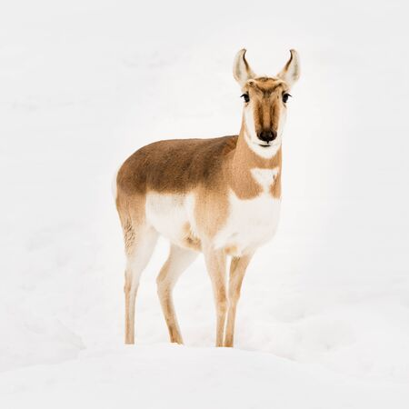 frontal portrait: Frontal Portrait of a Pronghorn in Snow