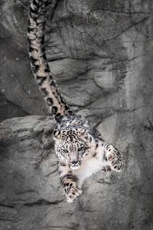 snow leopard: Snow Leopard Bouncing Off Rock Wall in Parkour Fashion
