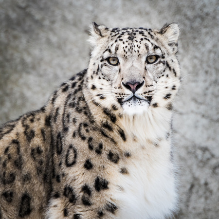snow leopard: Frontal Portrait of Snow Leopard in Snow Stock Photo