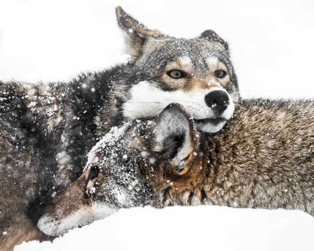 wolf couple: Red Wolf Pair Cuddling in Snow Stock Photo