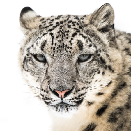Frontal Portrait of Snow Leopard in Snow Stock Photo