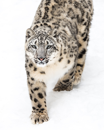 snow leopard: Snow Leopard Walking in Snow Stock Photo