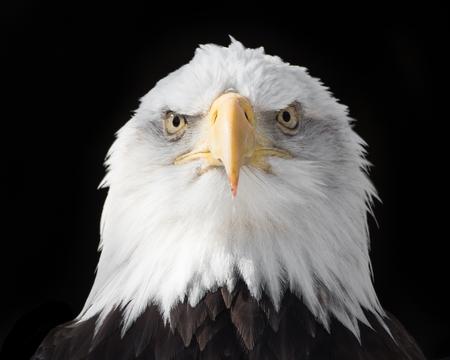 frontal portrait: Frontal Portrait of Bald Eagle Against Black Background