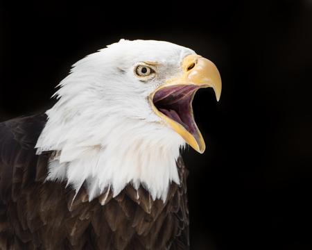 aguila calva: 3.4 Retrato de Screeching águila calva Contra El Fondo Negro