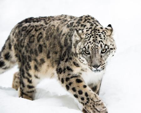 Frontal portrait of Snow Leopard walking in snow Stock Photo - 39093042