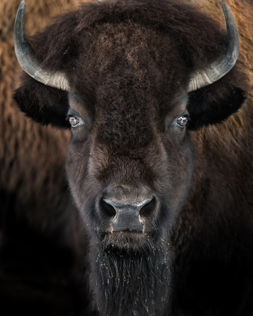 hoofed: Frontal portrait of American Bison