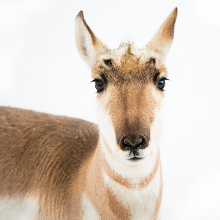 frontal portrait: Frontal portrait of Pronghorn standing in snow