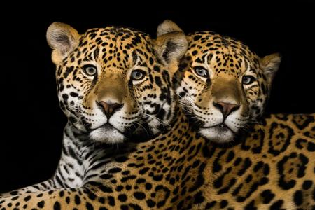 frontal portrait: Frontal Portrait of Jaguar Pair