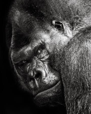 western lowland gorilla: 34 Ritratto di Gorilla gorilla Archivio Fotografico