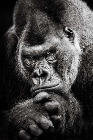 western lowland gorilla: Frontal Portrait of Western Lowland Gorilla Stock Photo