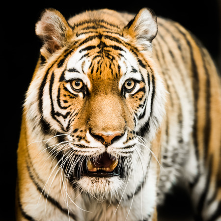 Frontal Portrait of Amur Tiger