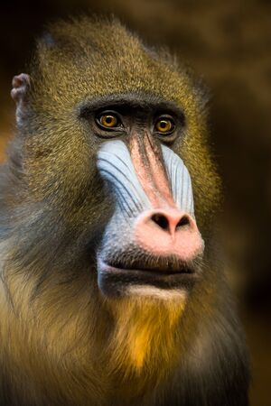 34 Portrait of a Mandrill