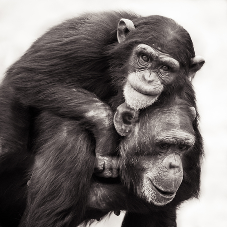Chimpanzee Mother with Her Young Son Riding on Her Back Reklamní fotografie