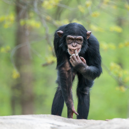 frontal portrait: Frontal Portrait of a Cheeky Young Chimpanzee Stock Photo