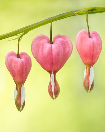 bleeding heart: Group of Bleeding Heart Flowers Against Blurred Green and Yellow Background