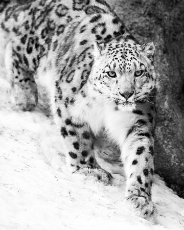 Snow Leopard Walking in Snow Stock fotó