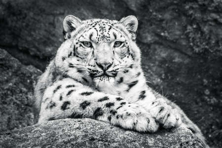 snow leopard: Frontal Portrait of a Resting Snow Leopard