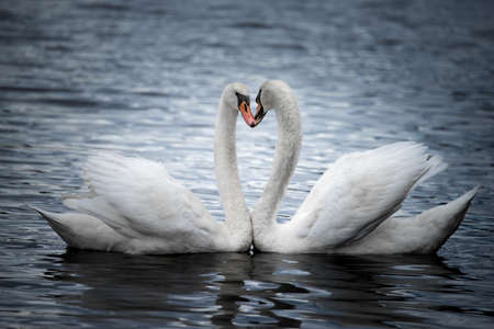 courting: A Profile Portrait of Courting Mute Swans
