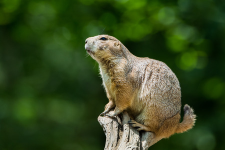 Prairie Dog Perching on a Branch Against a Green Background Stock fotó - 44282968