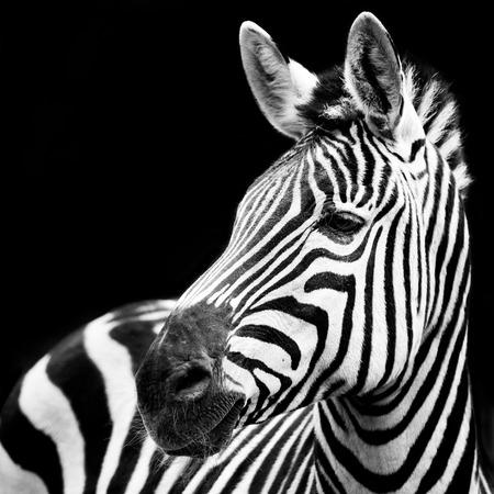 hoofed animals: Profile Portrait of a Zebra Against a Black Background