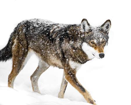 lobo feroz: Rojo Lobo que camina en la nieve