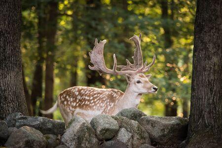hoofed: Profile Portrait of a Eurasian Fallow Deer