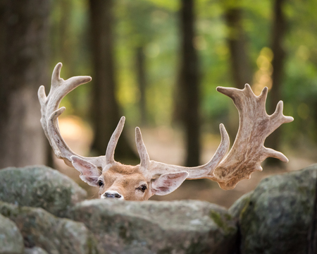 frontal portrait: Frontal Portrait of a Eurasian Fallow Deer Hiding Behind Rocks Stock Photo