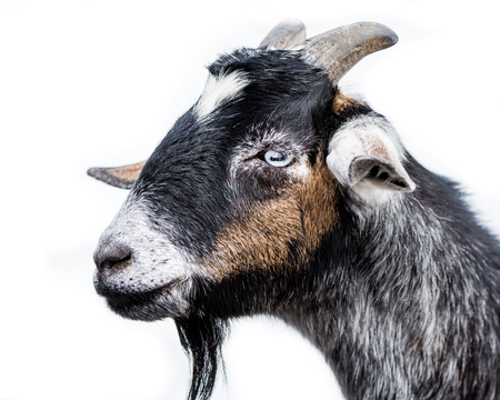 hoofed: Profile Portrait of a Miniature Nubian Goat Against a White Background