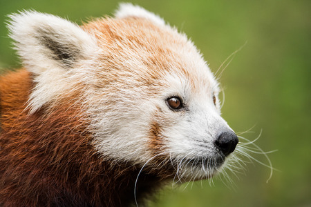 panda: 34 Portrait of a Red Panda Against a Green Background