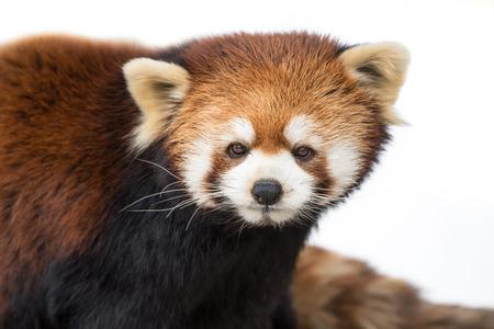 oso panda: Frontal Retrato de un panda rojo contra un fondo blanco