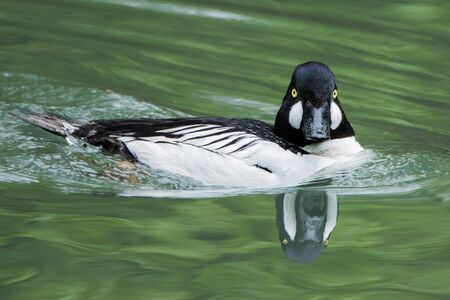 frontal portrait: Frontal Portrait of a Common Goldeneye With Reflection in Water