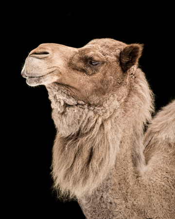 hoofed: Profile Portrait of a Dromedary Camel Against a Black Background Stock Photo