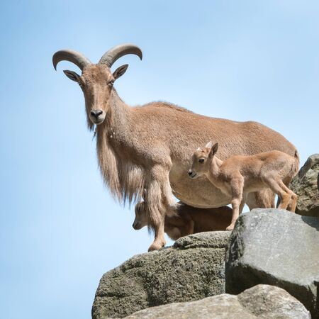 hoofed animals: Aoudad Family Perched on Rocks Against a Blue Sky